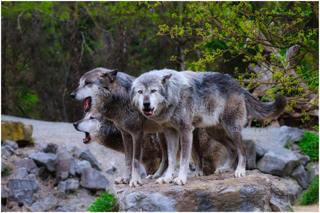 wolves-4774219_1920